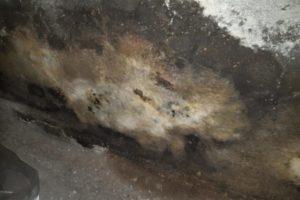 champignon-mérule-sur-u-mur
